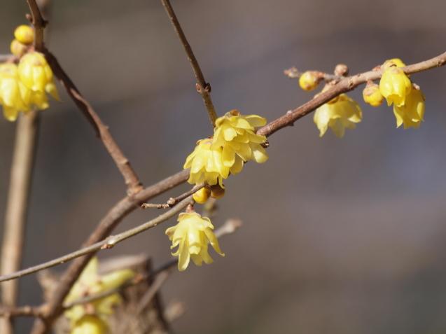 ロウバイが咲いていました_e0232277_13521601.jpg