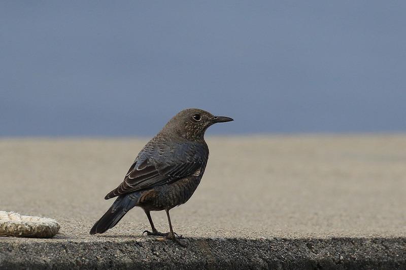 今日出会った鳥 イソヒヨドリのメス_c0155950_21472669.jpg