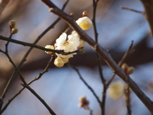 梅が咲いていました_e0232277_12103462.jpg