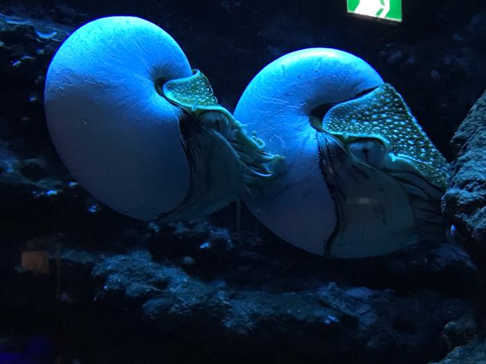 沼津港深海水族館 また行ってきた その10 オウムガイは深海の夢を見るか_d0068664_12160121.jpg