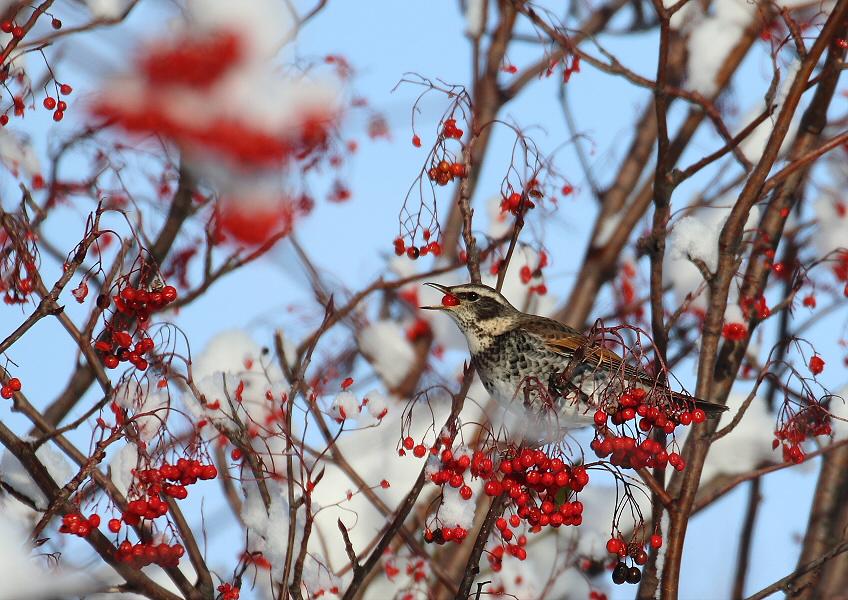 ナナカマドの木に・・ツグミ_c0113597_14171993.jpg