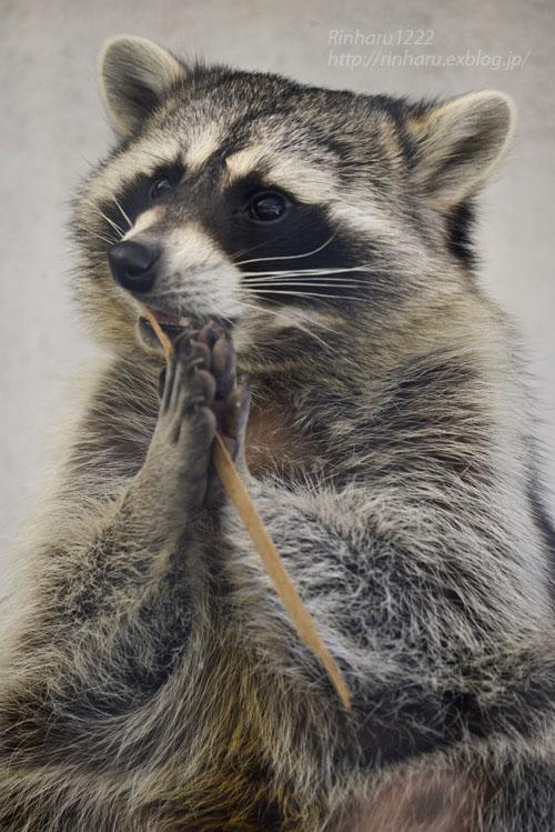2018.1.3 宇都宮動物園☆アライグマの宮太郎と宮次郎【Common raccoon】_f0250322_20573855.jpg