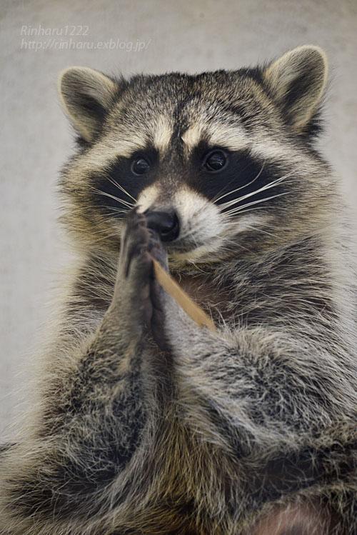2018.1.3 宇都宮動物園☆アライグマの宮太郎と宮次郎【Common raccoon】_f0250322_20574361.jpg