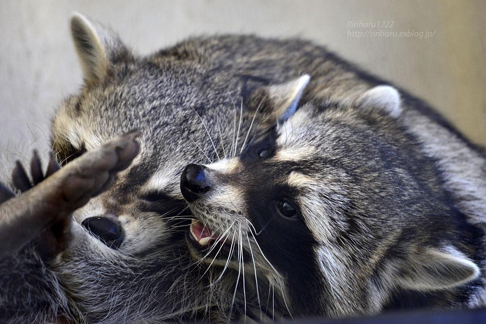 2018.1.3 宇都宮動物園☆アライグマの宮太郎と宮次郎【Common raccoon】_f0250322_20581228.jpg