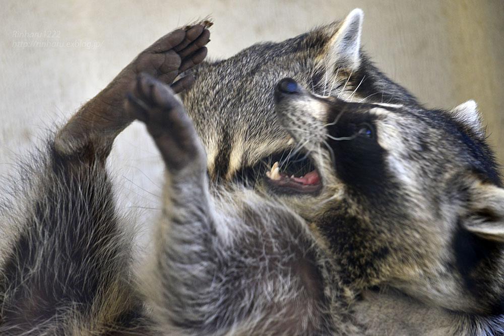 2018.1.3 宇都宮動物園☆アライグマの宮太郎と宮次郎【Common raccoon】_f0250322_20581778.jpg