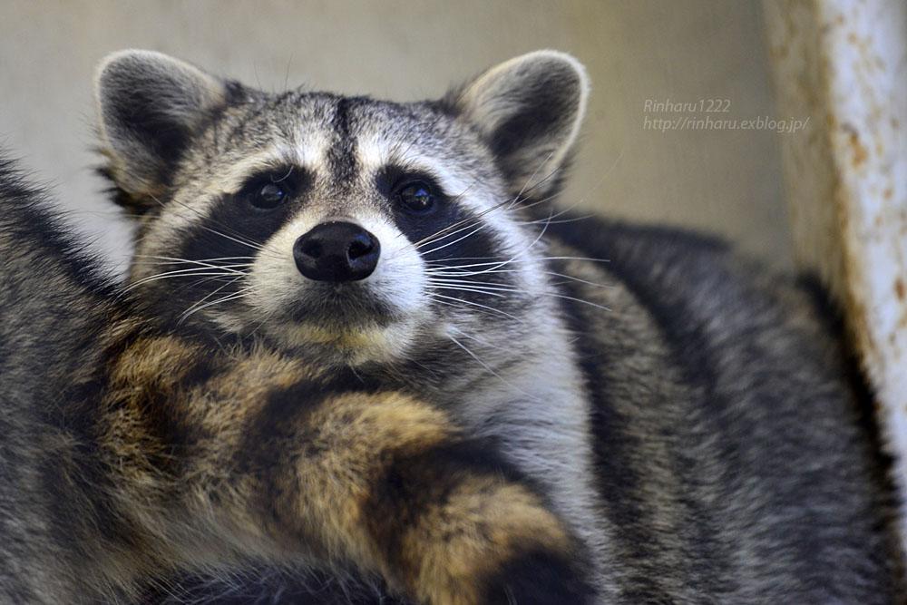 2018.1.3 宇都宮動物園☆アライグマの宮太郎と宮次郎【Common raccoon】_f0250322_20582828.jpg