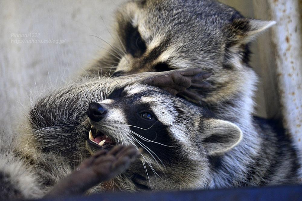 2018.1.3 宇都宮動物園☆アライグマの宮太郎と宮次郎【Common raccoon】_f0250322_2058652.jpg