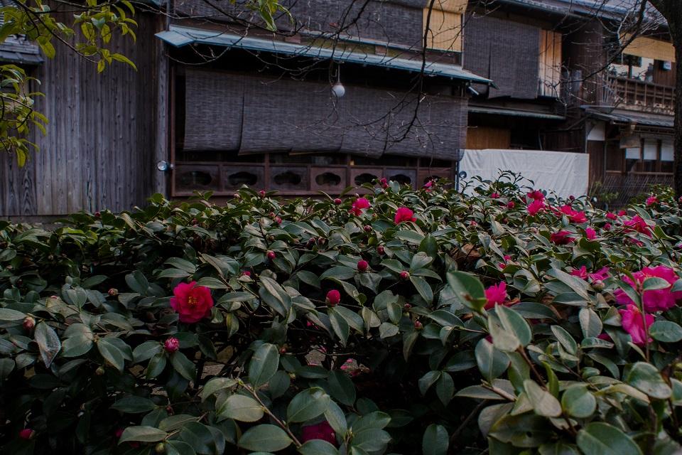 冬に咲く祇園白川の花々_e0363038_23461976.jpg