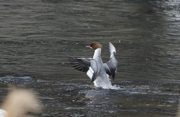 カワアイサの羽ばたき_f0239515_20504888.jpg