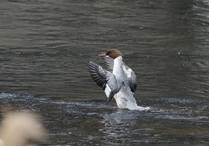 カワアイサの羽ばたき_f0239515_20524883.jpg