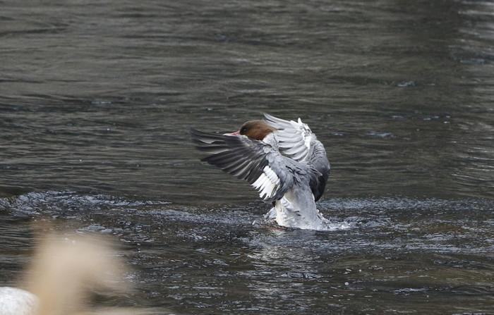 カワアイサの羽ばたき_f0239515_2053379.jpg