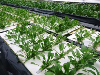 水耕栽培の新鮮野菜 無農薬で育てた朝採りのサラダほうれん草、サラダ水菜、サラダリーフ大好評発売中!_a0254656_17074575.jpg