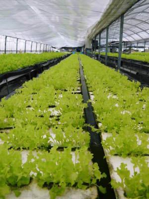 水耕栽培の新鮮野菜 無農薬で育てた朝採りのサラダほうれん草、サラダ水菜、サラダリーフ大好評発売中!_a0254656_17200525.jpg