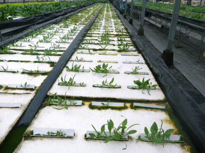 水耕栽培の新鮮野菜 無農薬で育てた朝採りのサラダほうれん草、サラダ水菜、サラダリーフ大好評発売中!_a0254656_17344790.jpg