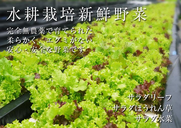 水耕栽培の新鮮野菜 無農薬で育てた朝採りのサラダほうれん草、サラダ水菜、サラダリーフ大好評発売中!_a0254656_17453818.jpg