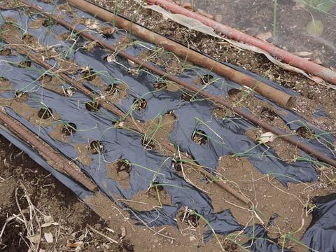 六国見山の畑の仕事始めは春キャベツ追肥と寒起こし1・5_c0014967_17471763.jpg