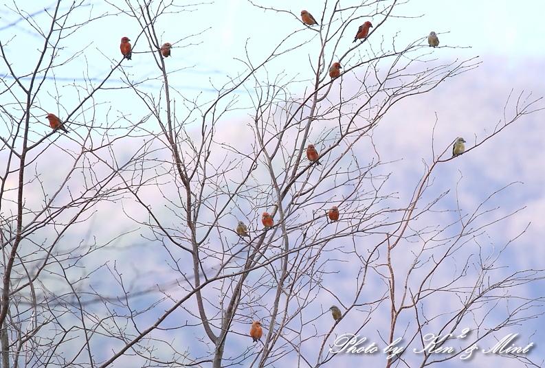 ヤッパリ冬は・・「イスカ」で いっすか?_e0218518_20022246.jpg