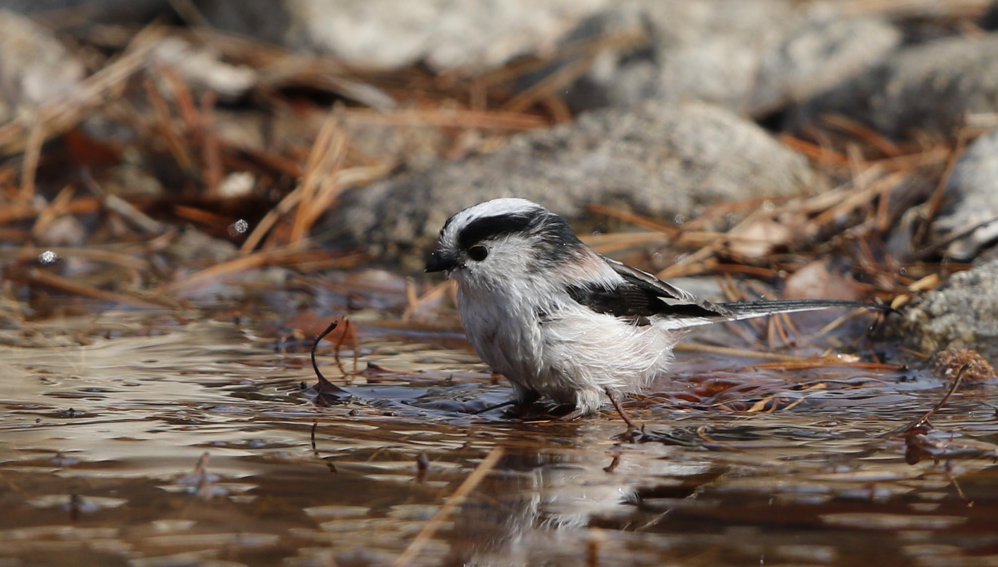 公園の水場で野鳥を待つ その3(エナガの水浴び)_f0239515_1644045.jpg