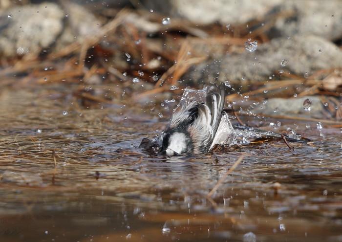 公園の水場で野鳥を待つ その3(エナガの水浴び)_f0239515_16443077.jpg