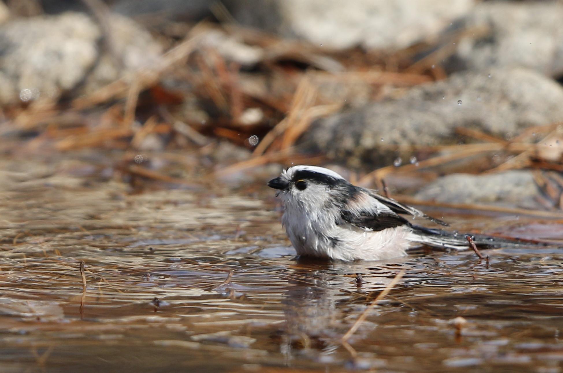 公園の水場で野鳥を待つ その3(エナガの水浴び)_f0239515_16453743.jpg