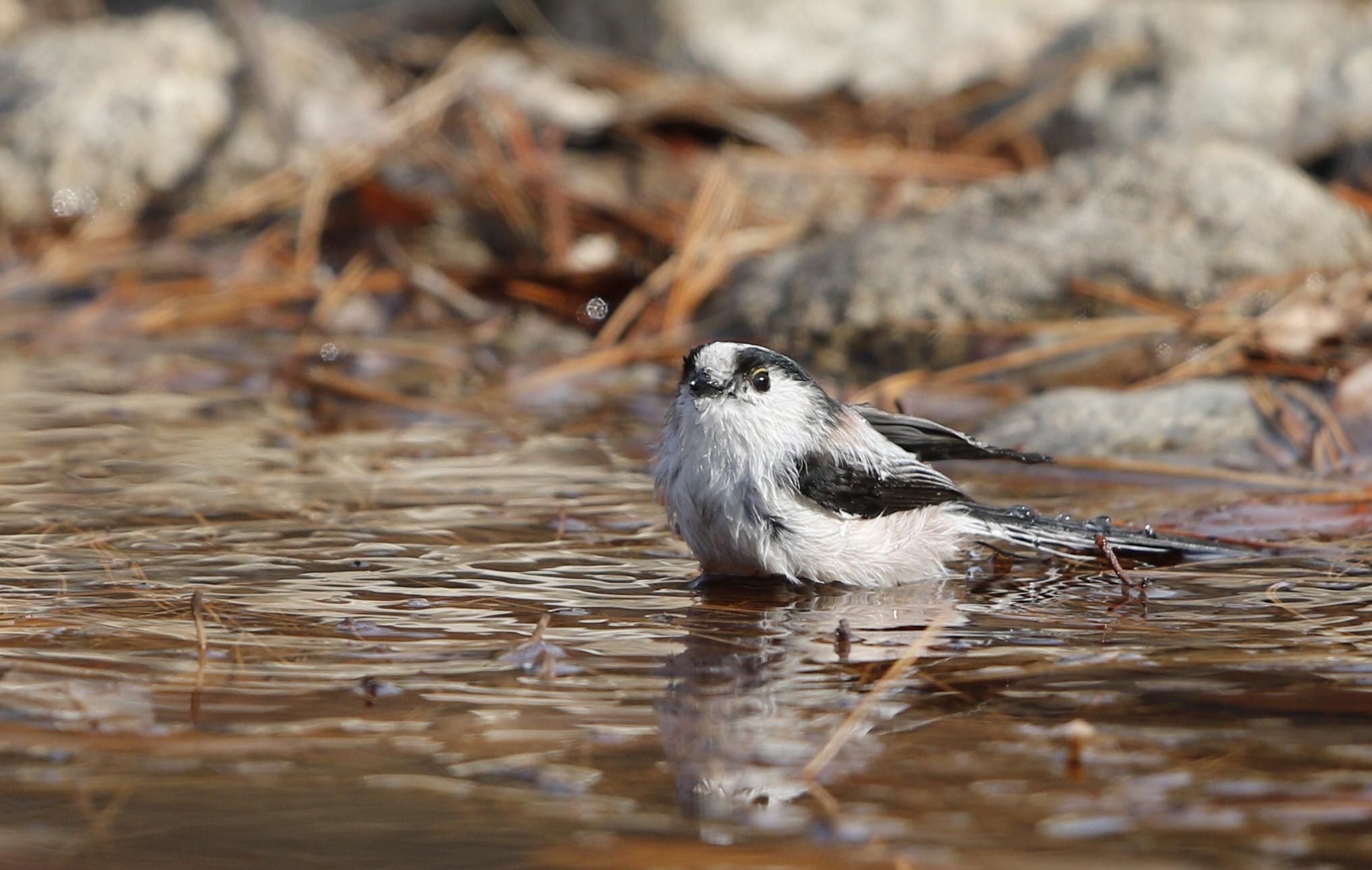 公園の水場で野鳥を待つ その3(エナガの水浴び)_f0239515_16455763.jpg