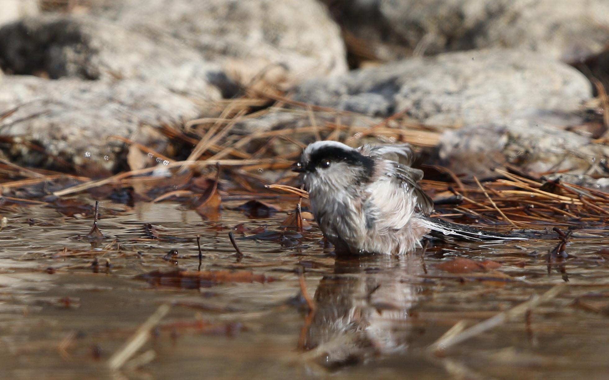 公園の水場で野鳥を待つ その3(エナガの水浴び)_f0239515_16462093.jpg