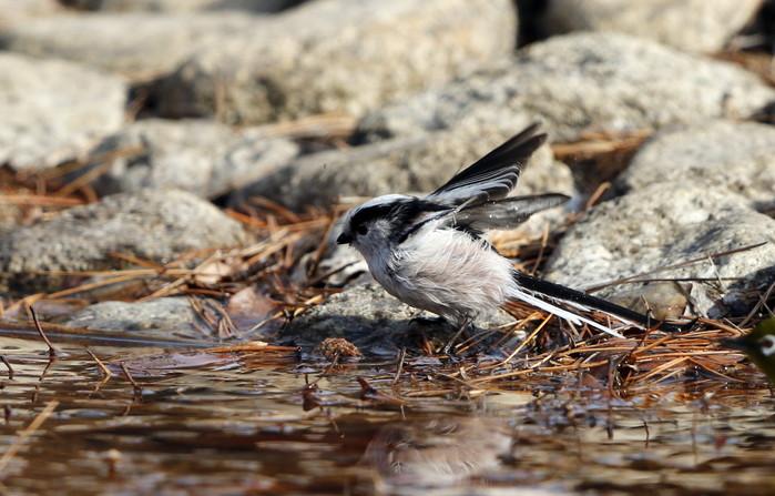 公園の水場で野鳥を待つ その3(エナガの水浴び)_f0239515_16475342.jpg