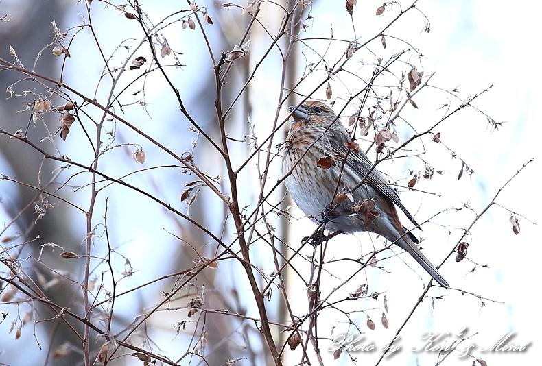 寒いお山で会えた「オオマシコ」さん♪_e0218518_19104879.jpg