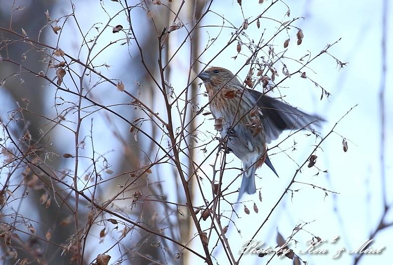 寒いお山で会えた「オオマシコ」さん♪_e0218518_19115163.jpg