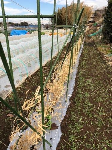 エンドウ豆 のネット張り 強風のため 延期いたします_c0222448_13282842.jpg
