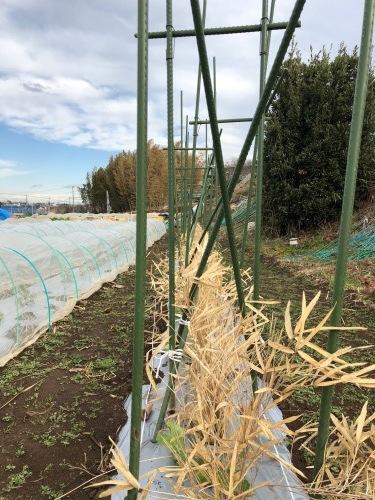 エンドウ豆 のネット張り 強風のため 延期いたします_c0222448_13284399.jpg