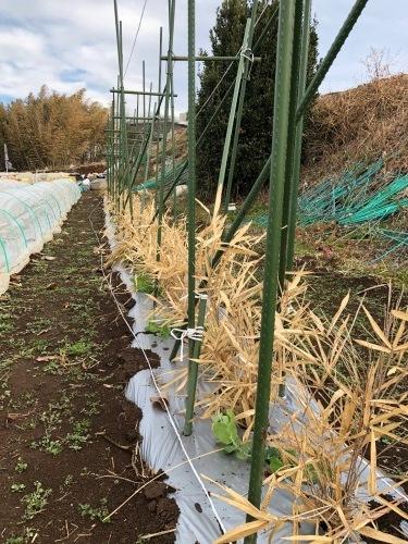 エンドウ豆 のネット張り 強風のため 延期いたします_c0222448_13290291.jpg