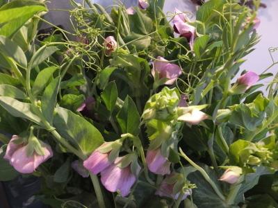 オークリーフ(初春の花)_f0049672_18041467.jpg