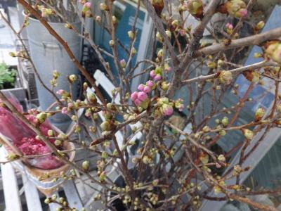 オークリーフ(初春の花)_f0049672_18043615.jpg