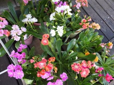 オークリーフ(初春の花)_f0049672_18044951.jpg