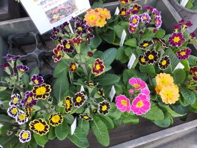 オークリーフ(初春の花)_f0049672_18052839.jpg