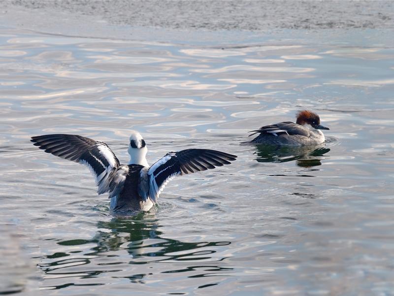 湖畔のミコアイサたち_a0204089_68338.jpg