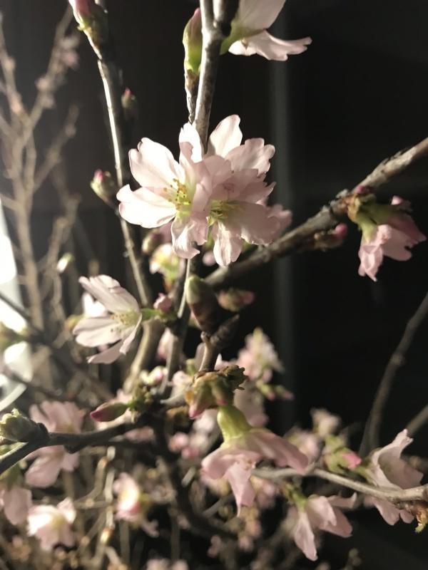桜🌸開花調整中_c0366777_23591031.jpg