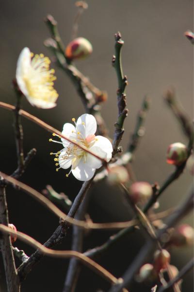 今日は暖かいので大阪城梅林まで_f0118400_12500327.jpg