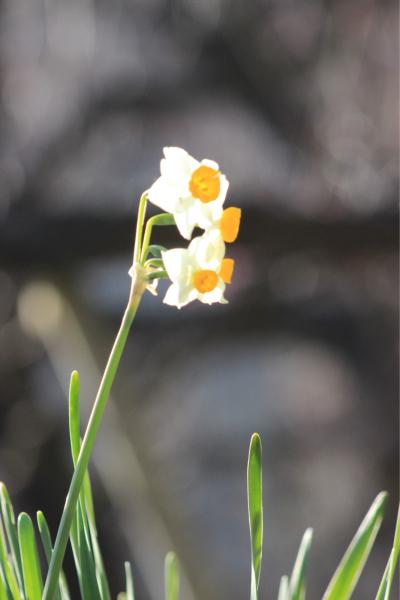今日は暖かいので大阪城梅林まで_f0118400_12564562.jpg