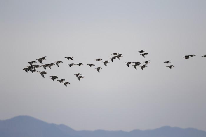 MFの沼でマガンの群れが飛んだ_f0239515_20104642.jpg