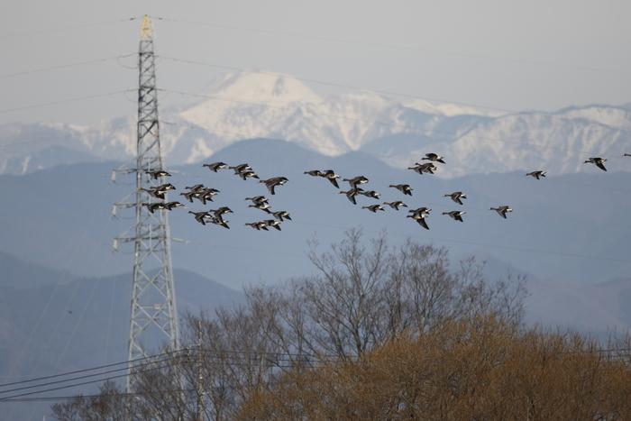 MFの沼でマガンの群れが飛んだ_f0239515_20113817.jpg