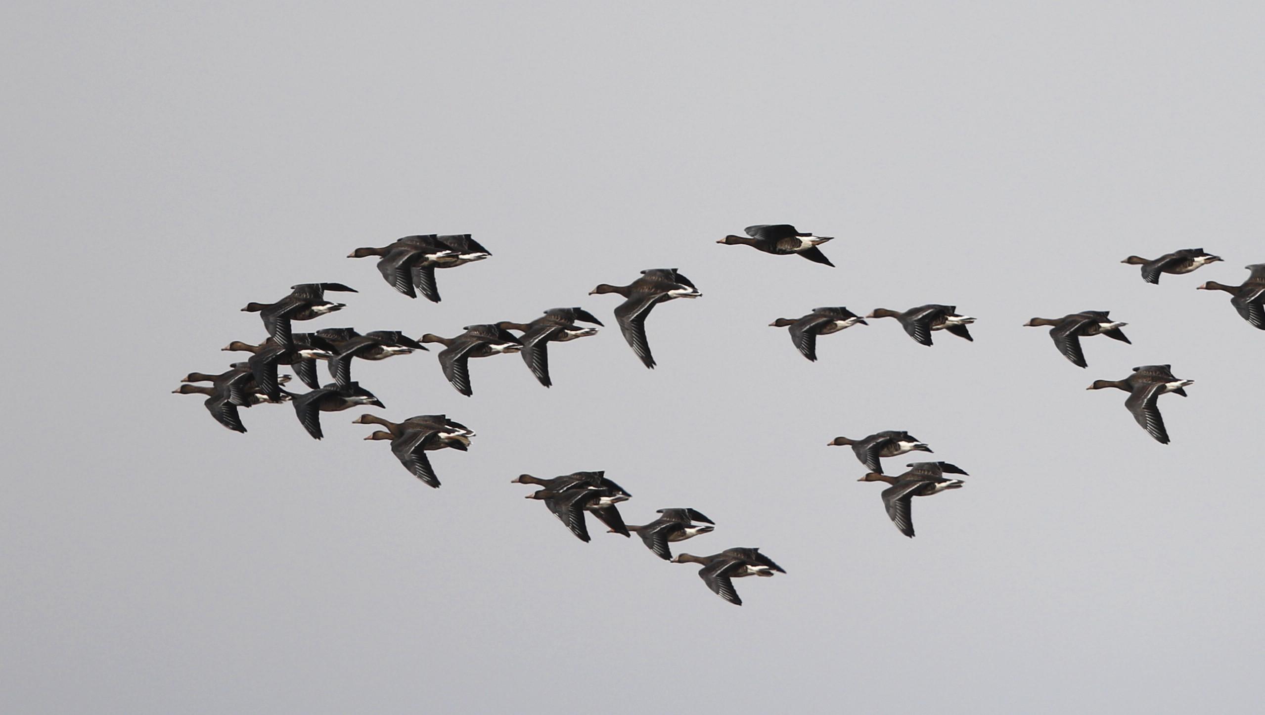 MFの沼でマガンの群れが飛んだ_f0239515_2011698.jpg