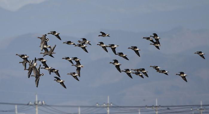 MFの沼でマガンの群れが飛んだ_f0239515_20123347.jpg