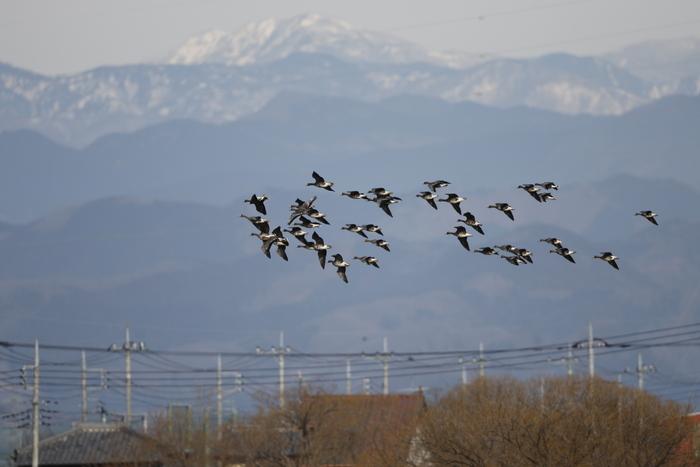 MFの沼でマガンの群れが飛んだ_f0239515_2012399.jpg