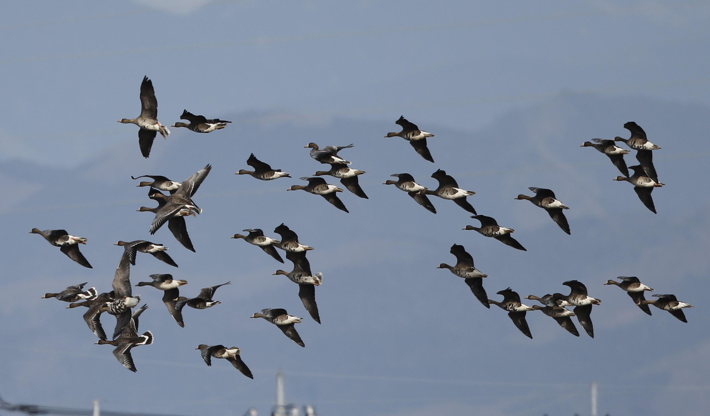 MFの沼でマガンの群れが飛んだ_f0239515_20125421.jpg
