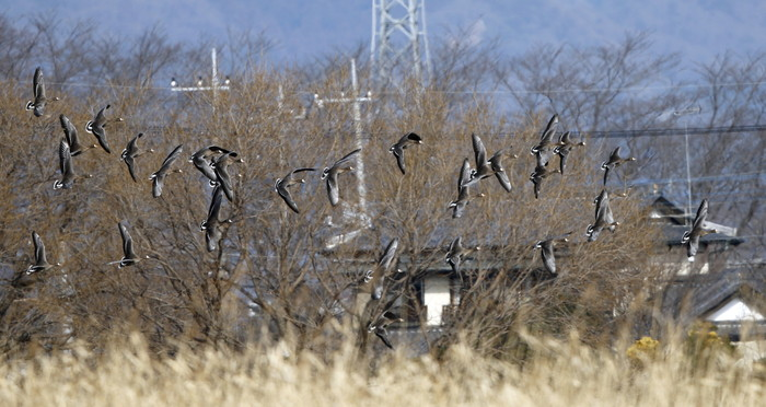 MFの沼でマガンの群れが飛んだ_f0239515_20131893.jpg