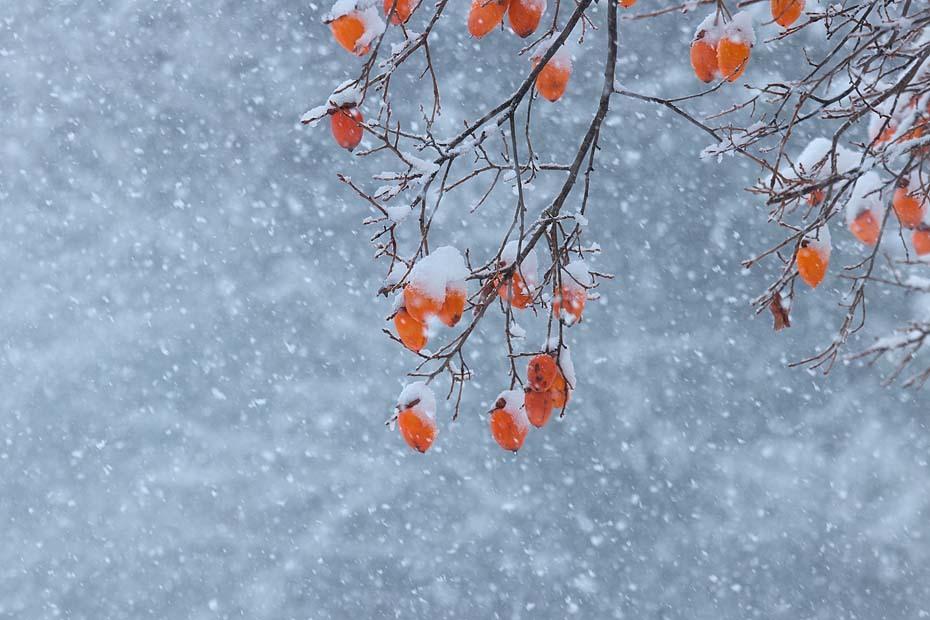 柿に雪_c0067040_23393390.jpg