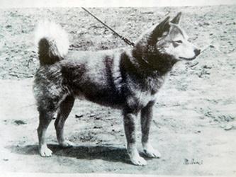 柴犬のお勉強 日本犬標準「一、本質と其の表現」_b0057675_13532890.jpg