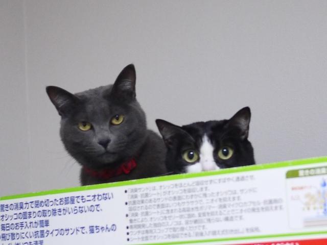 猫のお留守番 小娘ちゃん虎虎くん編。_a0143140_00373002.jpg